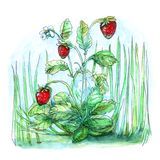 Bush bright red strawberry with leaves and one white flower on a background of green grass in summer watercolors illustration of a. Bush bright red scarlet Royalty Free Stock Images