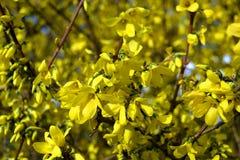A bush of bright yellow forsythia flowers. Bright yellow forsythia flowers crowded on branches Royalty Free Stock Photos