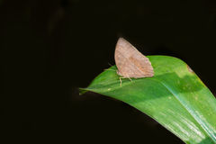 Bush Brown Butterfly Royalty Free Stock Photos