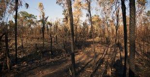Bush bruciato dal fuoco di spazzola - territorio settentrionale Immagine Stock