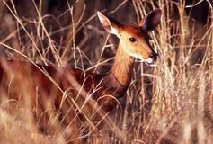 Bush Buck, Serengeti Plain. Bush Buck are common deer-like mammals on the Serengeti Plain, Tanzania Stock Photos