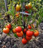 A bush with a bunch of red tomatoes Stock Images