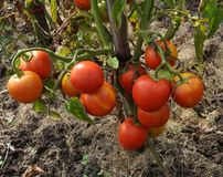 A bush with a bunch of red tomatoes Royalty Free Stock Photos