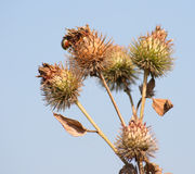 Bush of a burdock 2 Royalty Free Stock Images