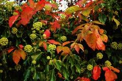 Bush. Es and leaves autumn season Stock Photography