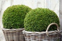 bush buxus стоковое изображение