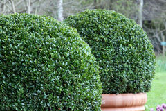 Bush Buxus (Buxus) Royalty Free Stock Images