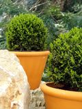 Bush Buxus (Buxus). Buxus Bush (Buxus) in the pot on the rock Royalty Free Stock Photography
