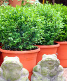 Bush Buxus (Buxus) Stock Photo