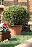 Bush Buxus in the pot. Buxus Bush Buxus in the pot front of the stone garden border royalty free stock photography