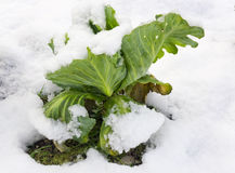 Bush cabbage under the snow Royalty Free Stock Photo