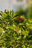 Bush callistemon citrinus. Blossoming shrub callistemon citrinus, red flower against a background of green leaves Royalty Free Stock Images