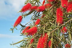 Bush Callistemon viminalis in garden Royalty Free Stock Photos