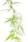 Bush-cannabis Stock Foto's