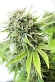 Bush of cannabis Stock Image