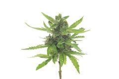 Bush of cannabis Stock Photography