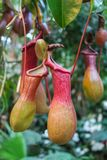 A bush of a carnivorous plant pitcher in the wild, close-up.