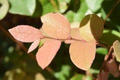 Bush castanho-avermelhado deixa o close up Imagens de Stock