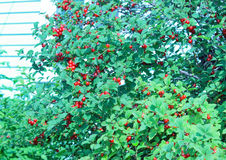 Bush cherry. With berries on the branches Royalty Free Stock Images