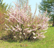 Bush cherry blossoms felt Royalty Free Stock Photography