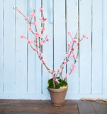 Bush cherry blossoms. In a pot on blue wooden background. Easter mood Royalty Free Stock Image