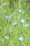 Bush of chicory Stock Images