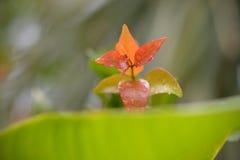 Bush Christmas Lillypilly. Syzygium australe Bush Christmas. Syzygium austral Stock Image