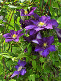 Bush clematis royalty free stock image