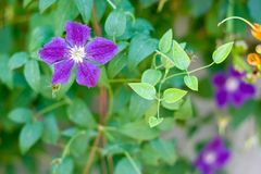 Bush clematis. Flowering blue clematis in the garden Royalty Free Stock Images