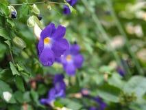Bush Clock Vine flower in the garden Stock Photos