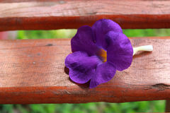 Bush Clock Vine. The bush clock vine flower is on the wood seat Royalty Free Stock Photography