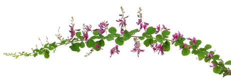 Bush clover, lespedeza bicolor, japanese clover, hagi Stock Photography