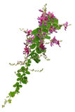 Bush clover, lespedeza bicolor, japanese clover, hagi Royalty Free Stock Photos