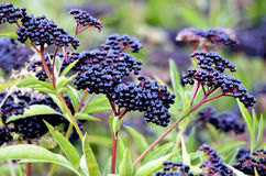Bush with clusters of elderberry fruit Royalty Free Stock Photos