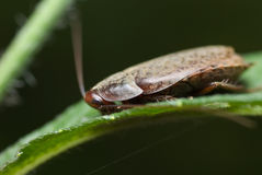 A bush cockroach Stock Image