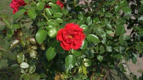 Bush color de rosa decorativo rojo que se sacude en el viento en un día soleado brillante La visión desde la tapa 4K 25 fps almacen de video