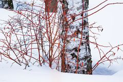 Bush color de rosa salvaje con las bayas rojas secadas viejas al lado del invierno del árbol de abedul en la nieve, Fotografía de archivo