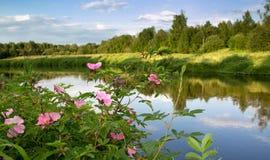 Bush color de rosa salvaje con las flores púrpuras en la orilla del río en Foto de archivo