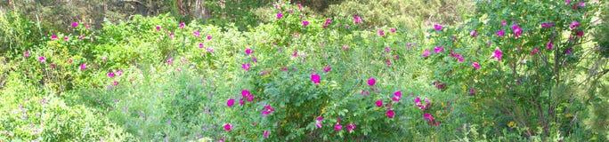 Bush color de rosa salvaje en el sol blanco del mediodía Fotos de archivo