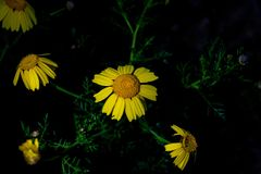 Colourful yellow Coreopsis flowers at night Stock Images