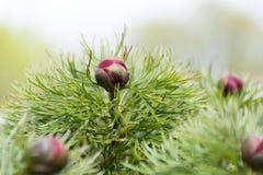 Bush com as peônias do planifolia das flores em botão, mola floresce Foto de Stock Royalty Free