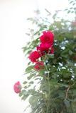 Bush com as rosas vermelhas na luz do sol Imagens de Stock