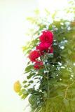 Bush com as rosas vermelhas na luz do sol Foto de Stock
