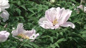 Bush com close-up cor-de-rosa com folhas verdes, tiro das peônias das flores no verão no tempo ensolarado Sombras da abelha sobre video estoque