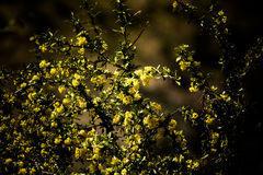Bush com flores amarelas Profundidade de campo rasa matizado Imagem de Stock Royalty Free
