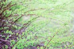 Bush com folhas Fotos de Stock