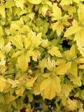 Bush com folhas amarelas fotografia de stock