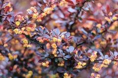Bush com folhas marrons Imagem de Stock Royalty Free