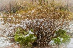 Bush com neve em ramos Imagem de Stock