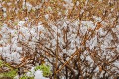 Bush com neve em ramos Foto de Stock Royalty Free